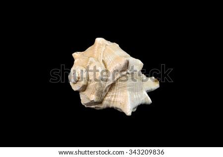 Fossil Shell Mollusca Gastropoda - stock photo