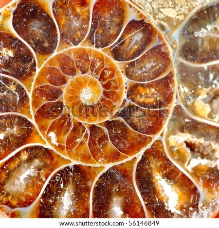 fossilized nautilus - stock photo