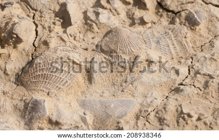 Fossils of brachiopods, marine invertebrates, from Devonian period, embedded in sedimentary rock at Fossil and Prairie Park Preserve, Rockford, Iowa - stock photo