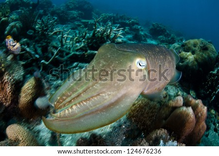 Found in the Indo-Western Pacific, a Broadclub cuttlefish (Sepia latimanus) uses colored cells, called chromatophores, to change its appearance and blend into its reef or sand surroundings. - stock photo