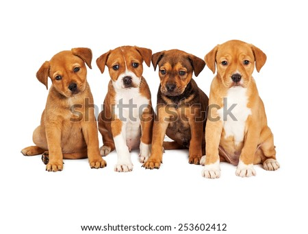 Four adorable eight week old mixed Shepherd breed puppy dogs sitting together in a row - stock photo