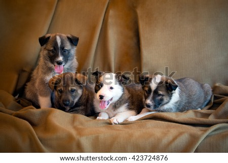 Four adorable eight week old puppies of mongrel sitting together in row on a brown fabric background. - stock photo