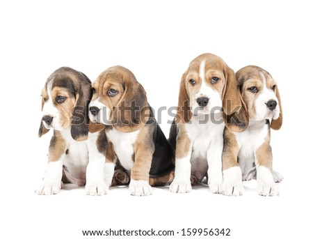 Four beagle puppy isolated on a white background in studio - stock photo