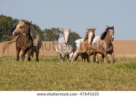 Four beautiful Appaloosa horses running on meadow - stock photo