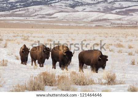 Four bison were found wandering near Kelly Wyoming.  Teton range is in the background. - stock photo