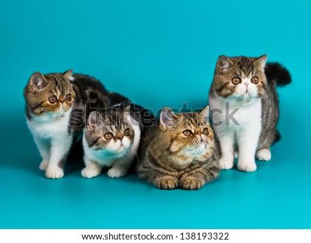 Four breed exotic shorthair kitten  - stock photo