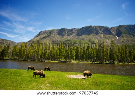 Four buffalo graze alongside the Yellowstone River in our nation's first national park. - stock photo
