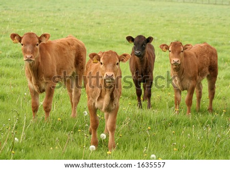 Four calves in a field - stock photo
