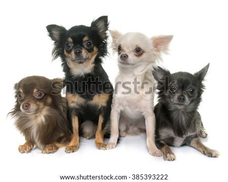 four chihuahua in front of white background