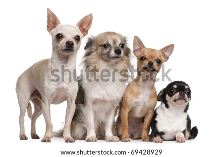Four Chihuahuas in front of white background - stock photo