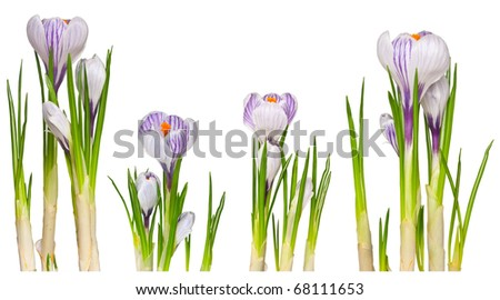 Four crocuses isolated on white for design. Isolated on white - stock photo