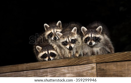 Four cute baby raccoon sitting on a deck at night - stock photo