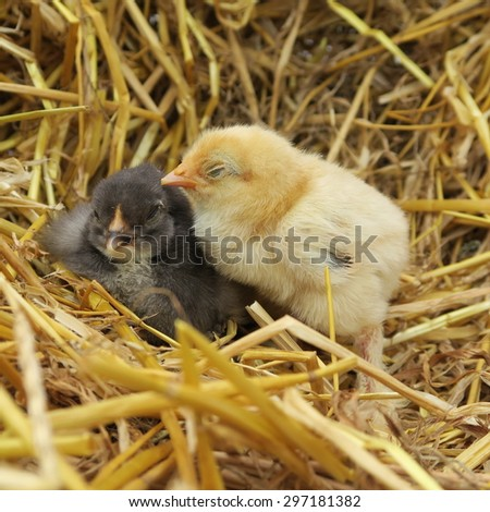 four cute chicks snuggle in fresh straw in the spring - stock photo