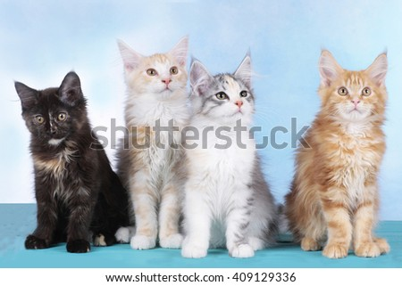 Four cute Maine Coon kitten in a row