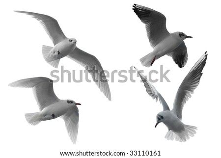 Four different seagulls isolated on white background. - stock photo