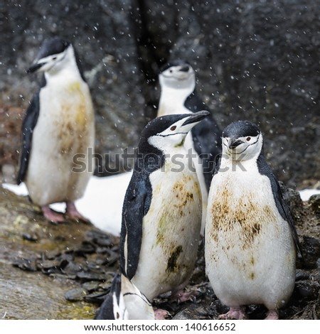 Four dirty penguins - stock photo