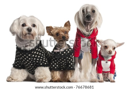 Four dogs dressed up in front of white background - stock photo