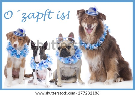 Four dogs on traditional festival isolated