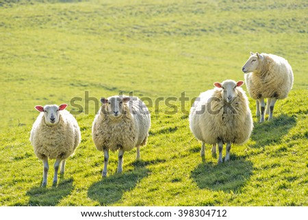 Four ewe sheep standing facing camera, backlit on a sunny day - stock photo
