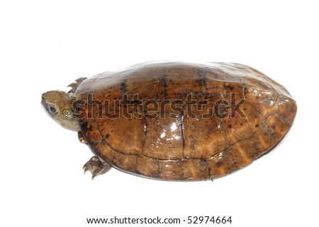 Four-eyed turtle (Sacalia quadriocellata)
