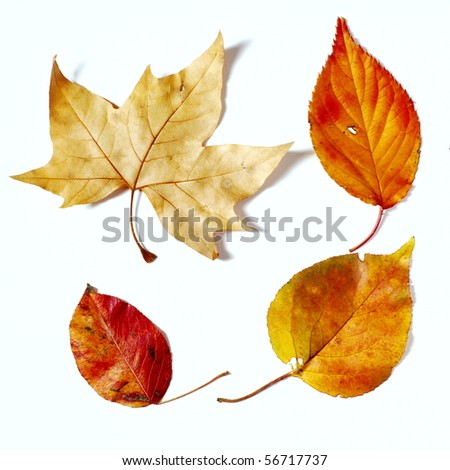 Four fall  color leaves on white background