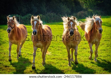 Four Galloping Haflinger horses  in meadow in Flanders - stock photo