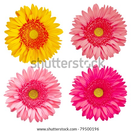 Four gerber flowers isolated on white