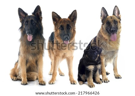 four german shepherds in front of white background