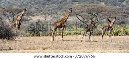 Four Giraffe on safari toward Serengeti all in a row and staring back. - stock photo