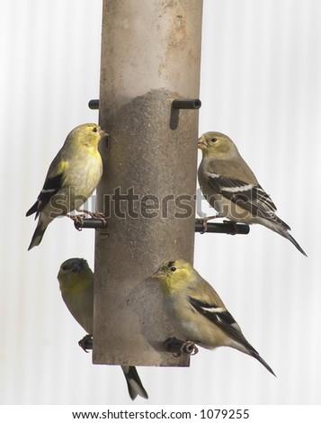 four goldfinches on feeder - stock photo