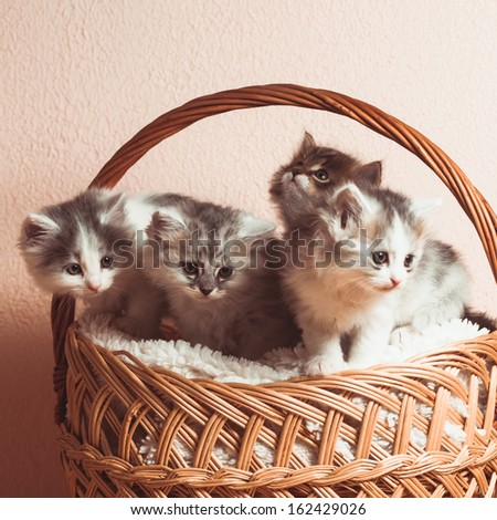 Four grey kittens in a basket with over pink wall - stock photo