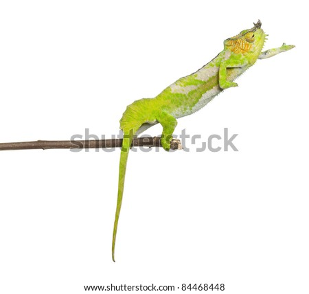 Four-horned Chameleon reaching away from it's branch, Chamaeleo quadricornis, in front of white background