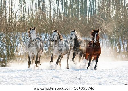 Four horses running in winter - stock photo