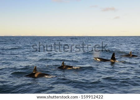 Four Killer whales coming up out of the water. - stock photo