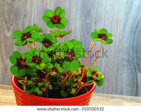 Four-leaf clover 2 - stock photo