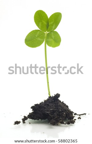 Four Leaf Clover Isolated - stock photo