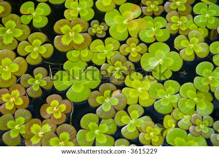 Four-leaf clovers floating on a pond. - stock photo