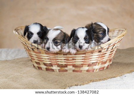Four little Papillon puppy in a wicker basket - stock photo