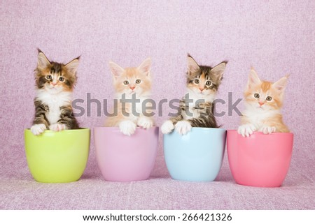 Four Maine Coon kittens sitting inside pastel pots containers on pink background