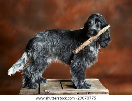 Four month old cocker spaniel puppy dog asking to play with him - stock photo