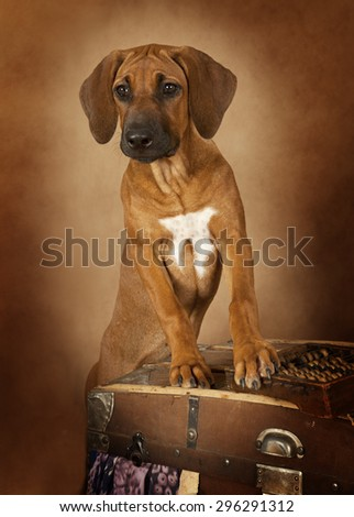 Four months old Rhodesian Ridgeback against brown background - stock photo