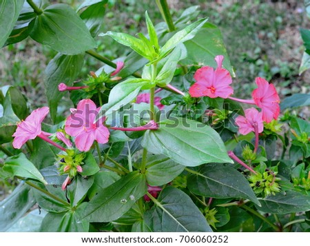 four oclock marvel peru flowers garden stock photo royalty free