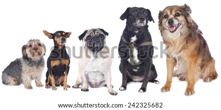 four old dogs isolated on white