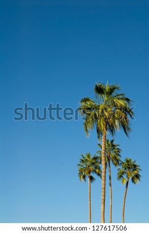 Four palm trees against a brilliant blue sky - stock photo