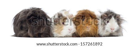 Four Peruvian Guinea Pigs in a row, isolated on white - stock photo
