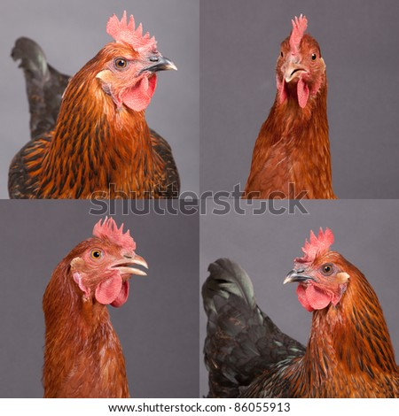 Four pictures of two beautiful chickens - stock photo