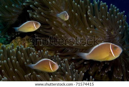 Four pink anemonefish (Amphiprion perideraion) in an anemone. Taken in the Wakatobi, Indonesia