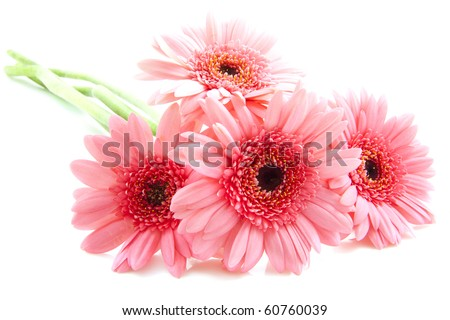 Four pink gerberas isolated over white