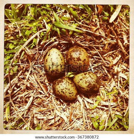 Four plover eggs in grass nest, New South Wales, Australia - stock photo