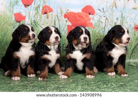 Four puppies Bernese mountain dog in studio - stock photo